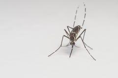 Close-up extremo do mosquito ou foto do macro Foto de Stock Royalty Free