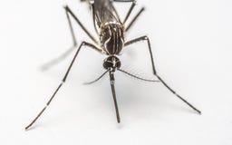 Close-up extremo do mosquito ou foto do macro Fotos de Stock