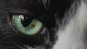 Close-up of the eye of a black and white cat. eye of the Dragon. Big Eyes stock video