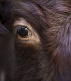 Close up on the eye of a bull. Close up shot on the eye of a bull Stock Photography