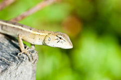 close up the eye of the chameleon Royalty Free Stock Images