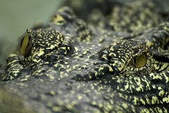 Close-up  eye Crocodile Royalty Free Stock Photo