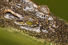 Close-up eye Crocodile Stock Image