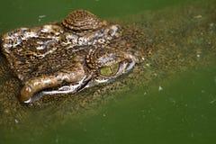 Close-up eye Crocodile Stock Images