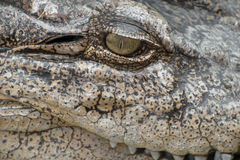 Close-up eye of a crocodile Royalty Free Stock Images