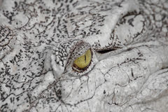 Close-up eye a crocodile. Royalty Free Stock Image