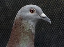 Close up eye and detail on head of homing speed racing pigeon in home loft royalty free stock photos