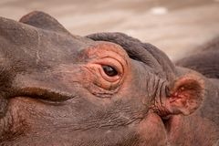 Close-up of eye and ear of hippopotamus Stock Photo
