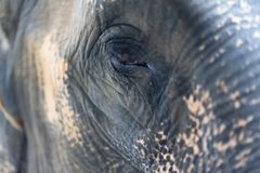 Close up The eye of elephant. At the forest. Animal wildlife concept royalty free stock photos