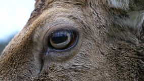 Close-Up of the Eye of a Fallow Deer. Extreme Close-Up of the Eye of a Male Fallow Deer Buck stock video footage