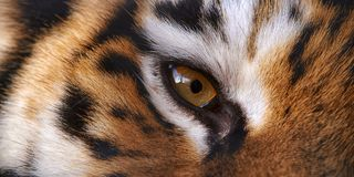 CLose-up eye of the fierce tiger as texture.  royalty free stock image