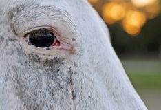 Close-up eye of a horse Royalty Free Stock Image