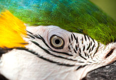 Close-up of eye macaw Royalty Free Stock Images