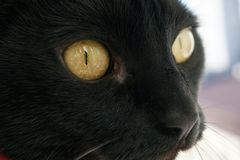 Close-up of the eye and nose. Black cat stock image