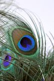Eye pattern on a peacock feather closeup stock image