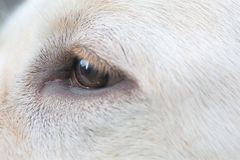 Close up eye of Sara Labrador retriever puppy Royalty Free Stock Photos