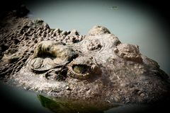 Close up eye and skin crocodile. In water stock photos