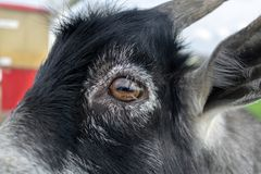 Close-up on the eye of a small black goat royalty free stock photos