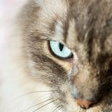 Close up of eye on a Tiffany Cat. Shallow Depth of field Close up of eye on a Tiffany Cat royalty free stock photography