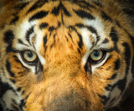 Close up eye of tiger. Looking ferocious Royalty Free Stock Photo