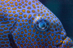 Close up of the eye of a Yellowspot rabbitfish Siganus guttatus Royalty Free Stock Image