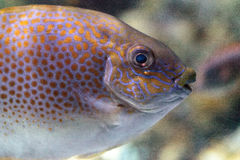 Close up of the eye of a Yellowspot rabbitfish Siganus guttatus Stock Photos