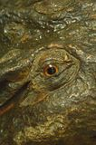 Eyes crocodile stucco royalty free stock images