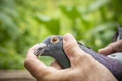 Close up eyes and head of beautiful speed racing pigeon bird stock image