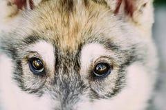 Close Up Of Eyes Of Husky Dog Puppy Stock Photo