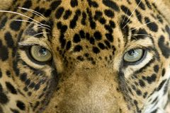 Close up eyes jaguar big cat, costa rica. Close up of magnificent big cat jaguar or panthera onca eyes staring at camera, costa rica Stock Images