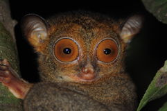 Close up eyes of the Western Tarsier Stock Photography