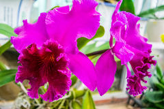 Close up f pink Orchids Cattleya Royalty Free Stock Photo