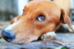 Close up face of an adorable brown dog. Close up face of an adorable brown dog outdoor Stock Photo