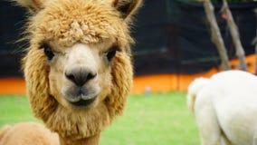 Close up Face of Alpaca, cute furry animal Royalty Free Stock Image