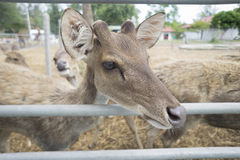 Close up face of baby male deer in paddock with blur background Stock Photos