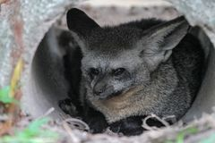 Close up face bat eared fox in cave. Otocyon megalotis wild mammal africa bat-eared nature natural animal wildlife african safari carnivore portrait outdoor royalty free stock photography