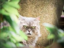 Close up face from beauty female gray persian cat with long hair. Sit in garden with soft focus foreground tree leaf Royalty Free Stock Photos