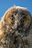 Close up of face and big yellow eyes of a young Scops owl Stock Photos