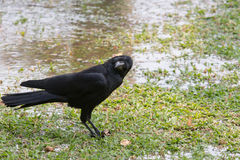 Close up face of black bird crow perching on green grass field Royalty Free Stock Photos