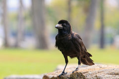 Close up face of black bird crow perching on rock with blurry ba Stock Image