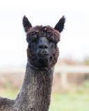 Close up face of black fur alpaca Royalty Free Stock Photo