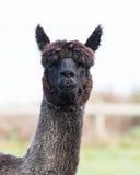Close up face of black fur alpaca Royalty Free Stock Photo