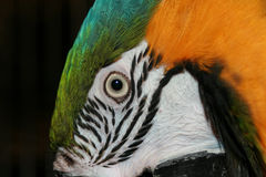 Close up of face of blue and gold macaw Royalty Free Stock Photo