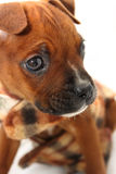 Close Up Face of Boxer Puppy Stock Photos