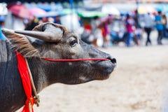 Close up face of buffalo Royalty Free Stock Photo