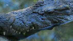 Close up of face of crocodile or alligator in a river. Crocodile or alligator in a river of a natural park or zoo stock footage