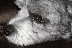 Close up of the face of a cute black and white Cavachon Dog. Close up of the face of a cute black and white sleepy Cavachon Dog with a wet nose Stock Photography
