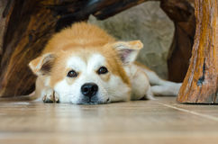 Close-up face of cute brown dog lying on floor. Brown dog lying on floor and look for the camera Stock Photo