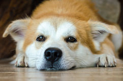 Close-up face of cute brown dog lying on floor. Brown dog lying on floor and look for the camera Stock Images