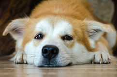 Close-up face of cute brown dog lying on floor. Brown dog lying on floor and look for the camera Stock Photography